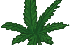 Legalization of marijuana: beneficial or harmful?